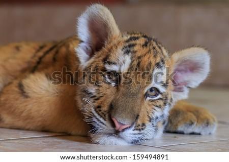 Siberian tiger cub is preparing to sleep - stock photo
