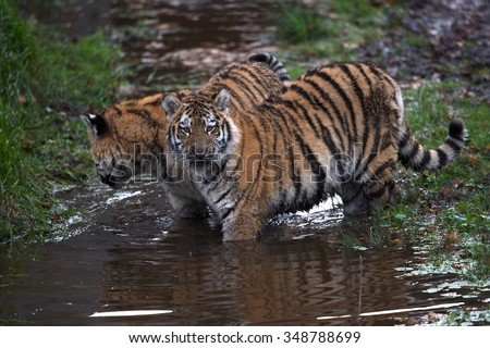 Siberian Tiger Cubs playing in muddy water/Tiger Cubs/Siberian Tiger Cubs (Panthera Tigris Altaica) - stock photo