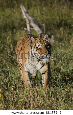 Siberian Tiger emerges from the woodlands
