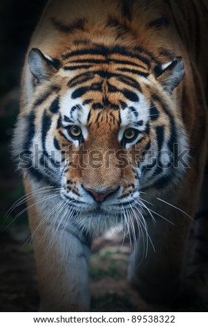 Siberian tiger face very close up - stock photo