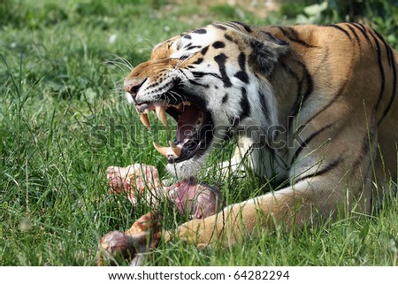 siberian tiger growling and protecting his prey