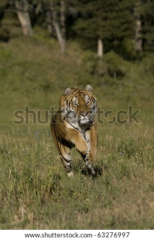 Siberian Tiger in pursuit - stock photo