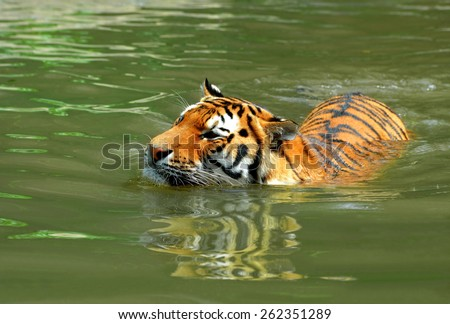 Siberian Tiger in water - stock photo