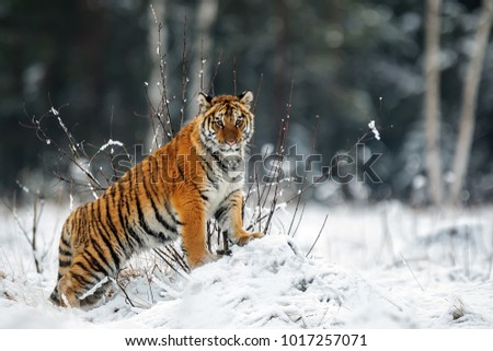 stock-photo-siberian-tiger-is-looking-ar