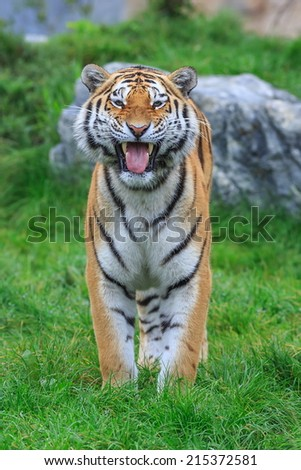 Siberian tiger is smiling - stock photo