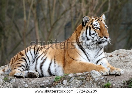 Siberian tiger laying on the floor Panthera tigris - stock photo