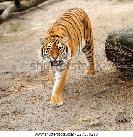 Siberian tiger looking in camera - stock photo