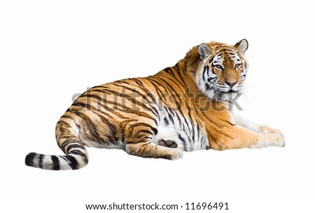 Siberian tiger lying isolated on white - stock photo