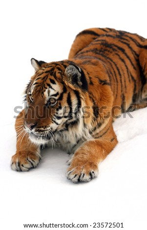 Siberian Tiger on New Snow