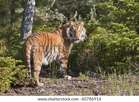 Siberian tiger (Panthera tigris altaica) pauses in his search for food in the forest. - stock photo