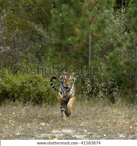 Siberian tiger (Panthera tigris altaica) running in front of thick forest. - stock photo