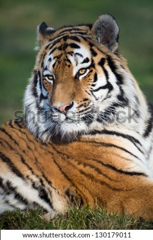 siberian tiger portrait against a background of grass/Tiger
