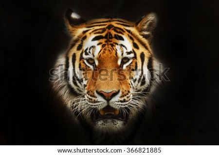 Siberian tiger portrait in black background - stock photo