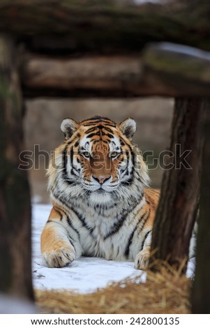 Siberian tiger portrait in zoo - stock photo
