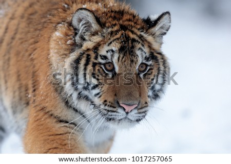 Siberian tiger portrait is very close up