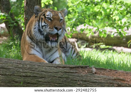 Siberian tiger ready to attack looking at you in the forest background