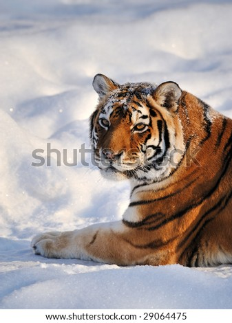 Siberian Tiger rest on Snow - stock photo