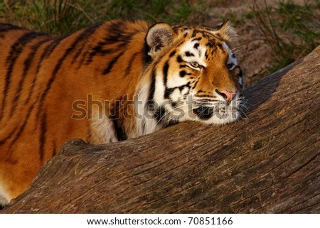 Siberian Tiger resting with her head on a fallen tree during sunset
