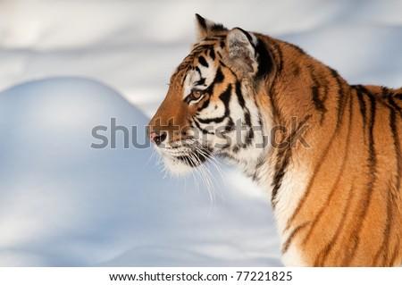 Siberian tiger running on snow - stock photo