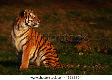 фото тигра сидящего