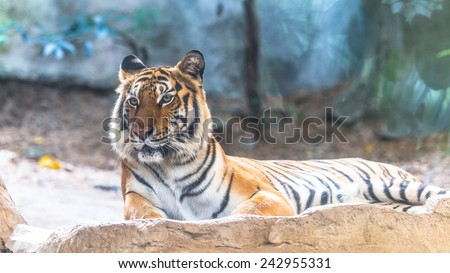 Siberian Tiger sitting on the cliff - stock photo