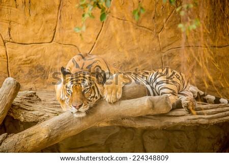 Siberian tiger sleepping on tree in wiild nature. - stock photo