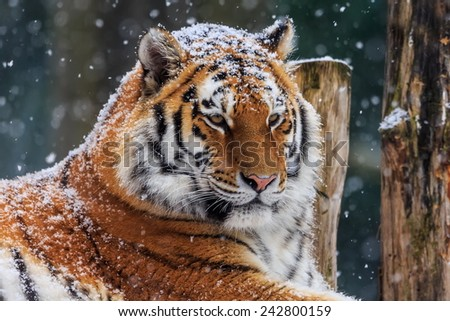 Siberian tiger snowy head - stock photo
