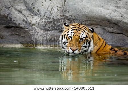Siberian tiger soaking in pond. - stock photo