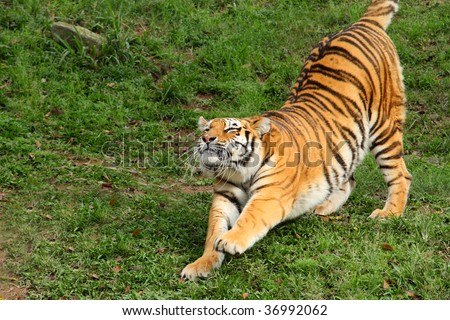 Siberian Tiger Stretching - stock photo