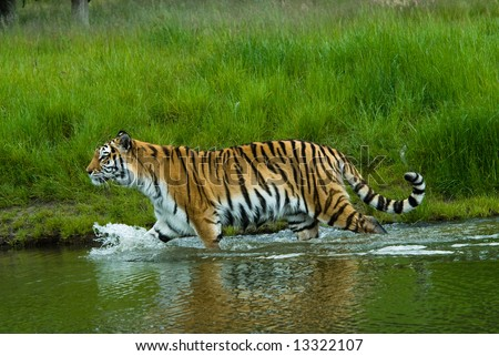 Siberian tiger  (Tiger Panthera tigris altaica) in water - stock photo