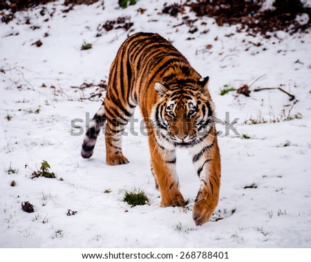 Siberian Tiger. Tiger stalking in a snowy landscape. - stock photo