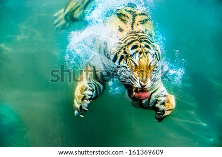 Siberian tiger under water - stock photo