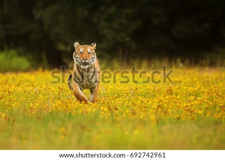 Siberian tiger very nice scenery with yellow blossom full meadow
