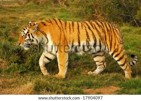 Siberian Tiger walking in game park - stock photo