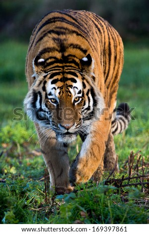 Siberian Tiger walking through dark forest/Siberian Tiger/Siberian Tiger - stock photo