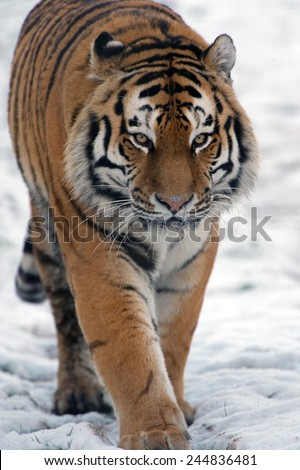Siberian Tiger walking through snow/Amur Tiger Walking Through Snow/Siberian Tiger (Panthera Tigris Altaica) - stock photo
