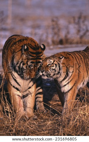 Siberian Tigers Showing Affection - stock photo