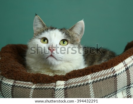 siberian tom male cat close up portrait in cozy special pet bed portrait on blue wall background - stock photo