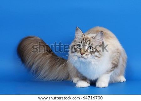 Siberian young female cat seal tabby point on sky blue background - stock photo