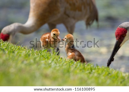 Sibling sandhill cranes with parents - stock photo