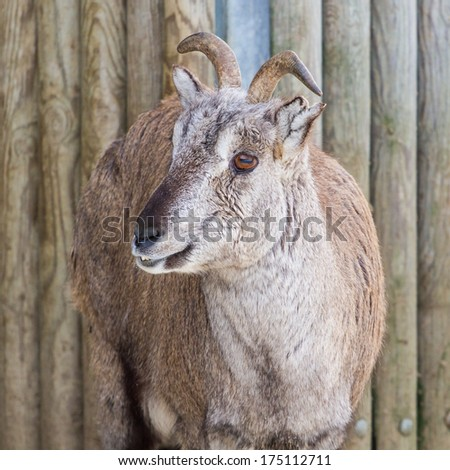 Sichuan blue sheep (bharal) close-up portrait with turned head - stock photo