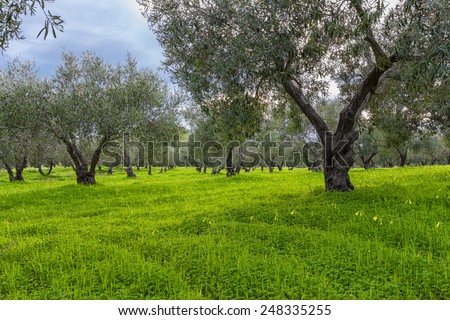 Sicilian olive grove in winter with yellow blooms in foreground - stock photo