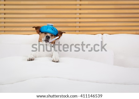 sick and ill  jack russell dog in bed sleeping or resting with pain and Headache and thermometer in mouth   - stock photo