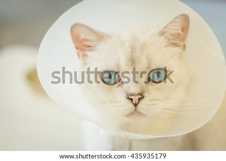 sick blue eyes cat with collar looking