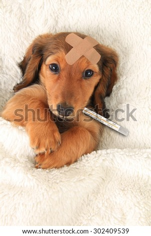 Sick dachshund puppy with a bandaid and thermometer.  - stock photo