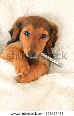 Sick dachshund puppy with a thermometer to check fever.