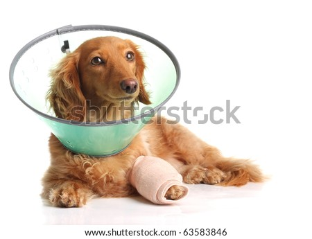 Sick dachshund wearing a funnel collar for a injured leg. - stock photo