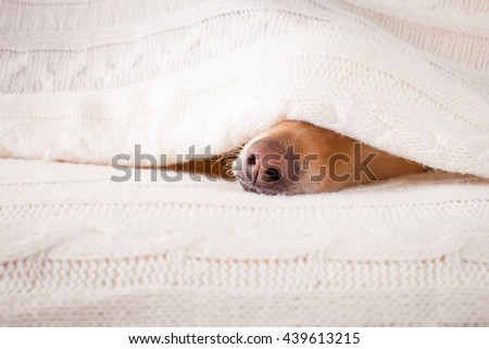 sick dog in bed resting or sleeping - stock photo