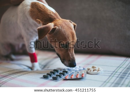 sick dog Jack Russell and tablets - stock photo