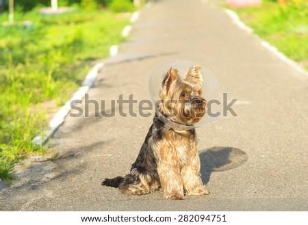 Sick dog wearing a funnel collar. Sick Yorkshire terrier wearing a funnel (protective) collar. Injured petite dog wearing protective dog collar outdoors. Dog for walk after an illness. Rehabilitation - stock photo